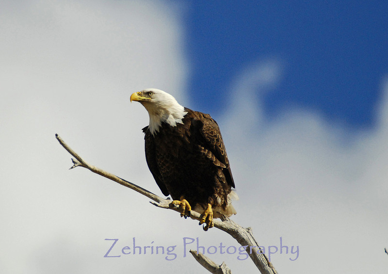 Although primaily a fish hunter the bald eagles also feeds on carrion and field rodents.
