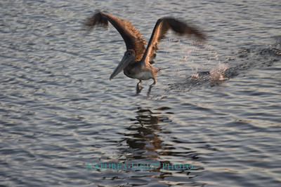 Brown Pelican, Dunedin, FL