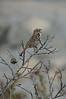 Singing_Sparrow