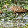 Limpkin with Snail<br /> <br /> This photograph is protected by the U.S. Copyright Laws and shall not to be downloaded or reproduced by any means without the formal written permission of Bob Arkow Photography.