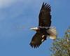 Female Bald Eagle in flight - Milpitas 10Apr2017
