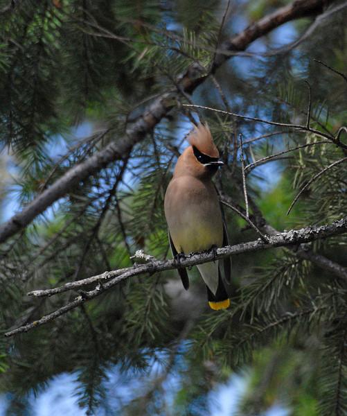 Cedar Waxwing in Fir Tree