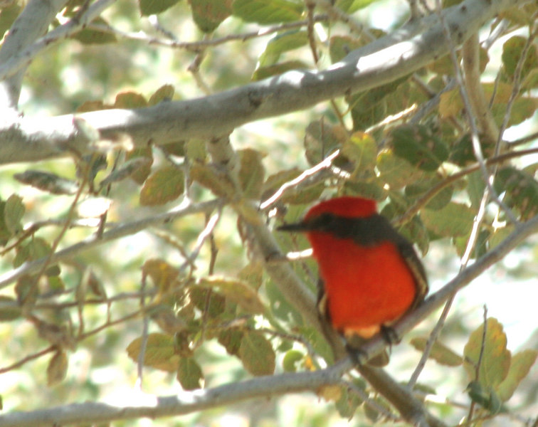 Vermillion Flycatcher {Pyrocephalus rubinus}<br /> Tucson, AZ<br /> © WEOttinger, The Wildflower Hunter - All rights reserved<br /> For educational use only - this image, or derivative works, can not be used, published, distributed or sold without written permission of the owner.