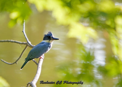 Belted Kingfisher perched above a small pond.