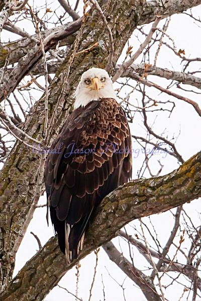 Bald  Eagle<br /> Haliaeetus leucoceohalus