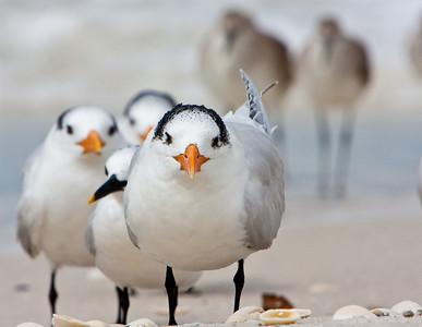 Little Old Men (Royal Terns)