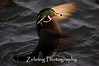 "The gift of a perfect lighting moment as this male wood duck performs a ""wing flap"" in the eveniing sun. Thanks LORD!"