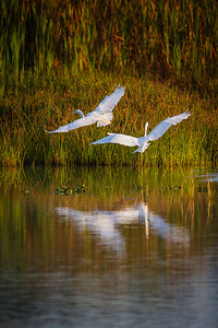 Great Egrets Leaving