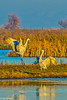 Sandhill Cranes in Central Valley 1-2012 #04