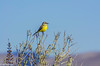 Tropical Kingbird at Bodega Bay 10-31-2013 #8-3