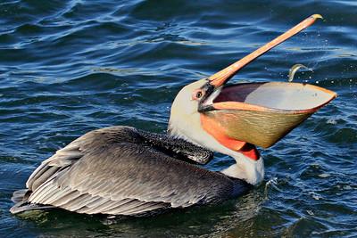 Appetizer ~ California Brown Pelican