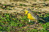 Meadowlark at Sacramento NWR 1-2015 #6