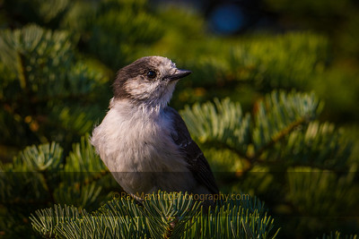 Gray Jay/Canada Jay - The Raptor Watcher's Friend