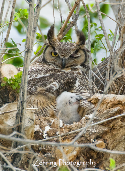 This great horned owl mother has to sleep with one eye open watching this pesky photogragher capture a picture of junior chewing on momma's wing.