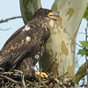 younger of two bald eagle siblings<br /> <br /> Montgomery County, Maryland<br /> June 2009