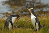 Yellow-eyed Penguins in territorial confrontation - Katiki Lighthouse, New Zealand