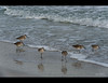 A crescent of sandpipers.  Lido Beach, Florida.  March 2013