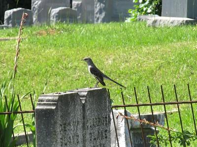 Cemetery Mockingbird 2