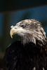 Eagle taken in Portugul