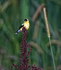 American Goldfinch<br /> (Carduelis tristis)