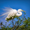 Great Egret Displaying Breeding Plumage