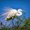 Great Egret Displaying Breeding Plumage