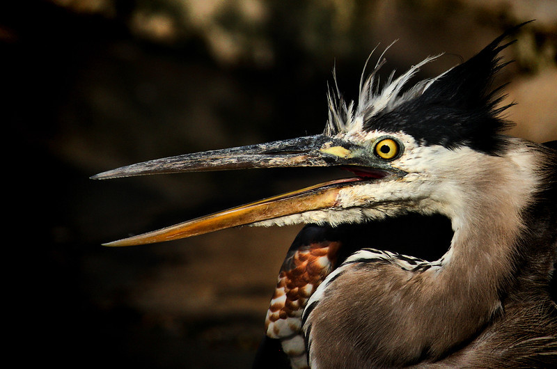"""<a href=""""http://xenogere.com/put-on-your-faces-great-blue-heron-round-2/"""" title=""""put on your faces - great blue heron round 2"""">Blog entry</a>"""