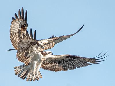 Ospreys having an argument over a nesting location