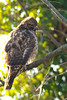 Juvenile Red-shouldered (?) Hawk<br /> Mount Vernon, Virginia<br /> January 2009
