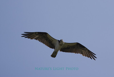 Osprey Spots Camera, Dunedin, FL