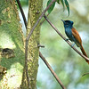 African Paradise Flycatcher (Terpsiphone viridis)<br /> Masai Mara National Park, Kenya<br /> IUCN Status: Least Concern