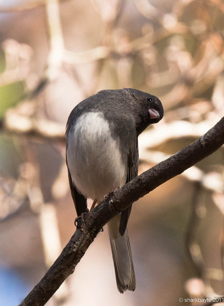 February 27, 2011-Dark eyed Junco checking things out. I thought I was spying on him, turns out he was watching me all along. (Day 58 #365Project @sharkbayte)