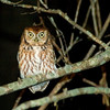 Eastern Screech Owl (Megascops asio)<br /> Wachapreague, Virginia, USA<br /> IUCN Status: Least Concern