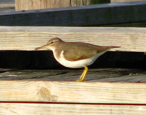 A spotted sandpiper (Actitis macularia) in non-breeding plumage standing on a pier (IMG_20080106_00986)
