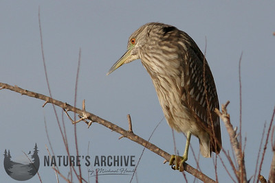 Black-Crowned Night-Heron  (juvenile), Gilbert,AZ