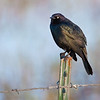 Brewers Blackbird, Malheur National Wildlife Refuge, Oregon