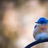 February 2018 St. Louis Male Bluebird