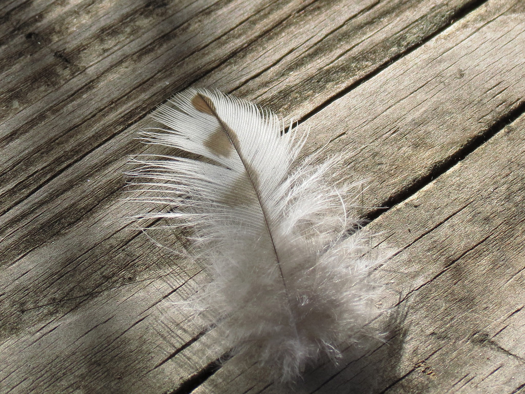 Feather from a hawk is my guess.