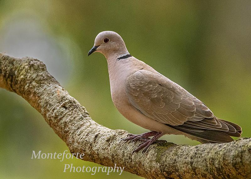 Eurasian Collared -Dove Streptopelia decaocto