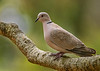 Eurasian Collared -Dove Streptopelia decaocto