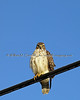 Rough Legged Hawk (I think)<br /> Winter