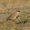 Crowned Lapwing (Plover)