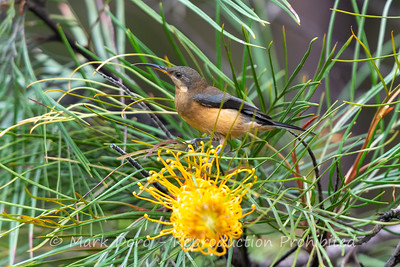 Eastern Spinebill, Tea Gardens, NSW