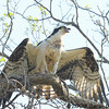 Osprey has fish and lets everyone know it<br /> Occoquan National Wildlife Refuge<br /> Virginia<br /> April 2009