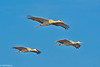 Sandhill Cranes in flight in Central Valley 1-2012 #14