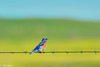 Western Bluebird male on barbed wire at Pt Reyes 2-2012 #1-2