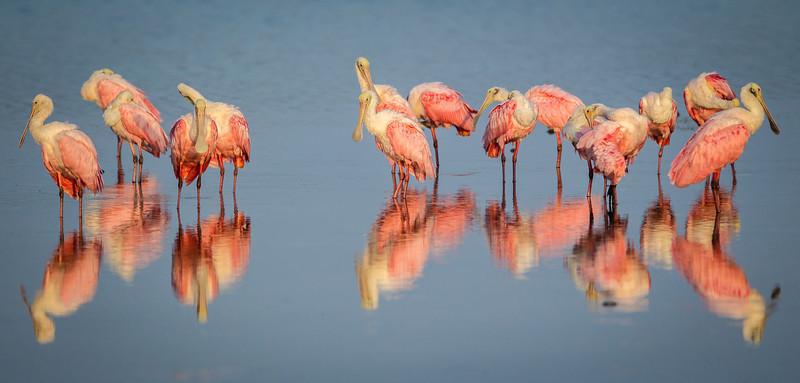 Spoonbills Reflection