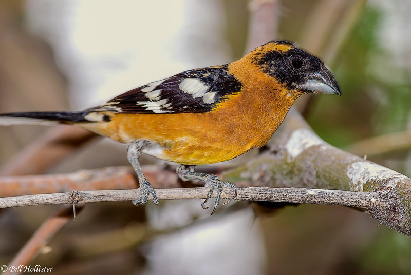 Black-headed Grosbeak #7