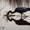 Little Blue Heron Going for Dinner