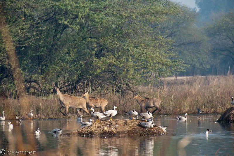 Bar Headed Geese + Nilgai (FM)